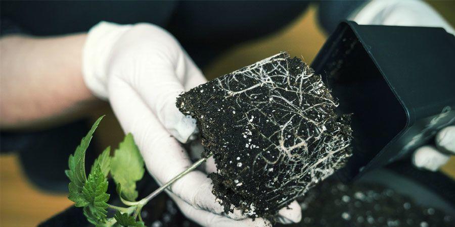 Air Pruning - Wietplanten Kweken
