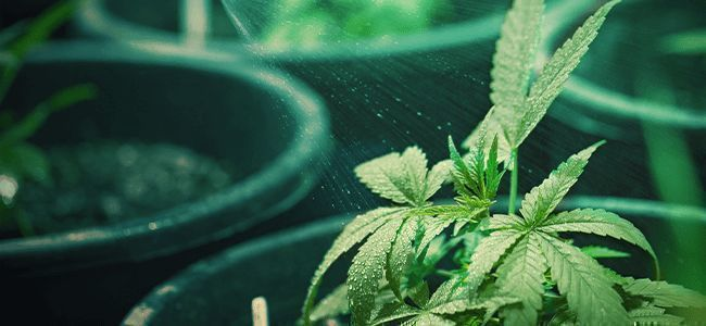 Hoe Weet Je Of Een Cannabis Plant Water Nodig Heeft… En Hoeveel?