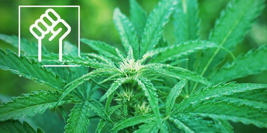 Resistente Genetica - Autoflowering Wietsoorten