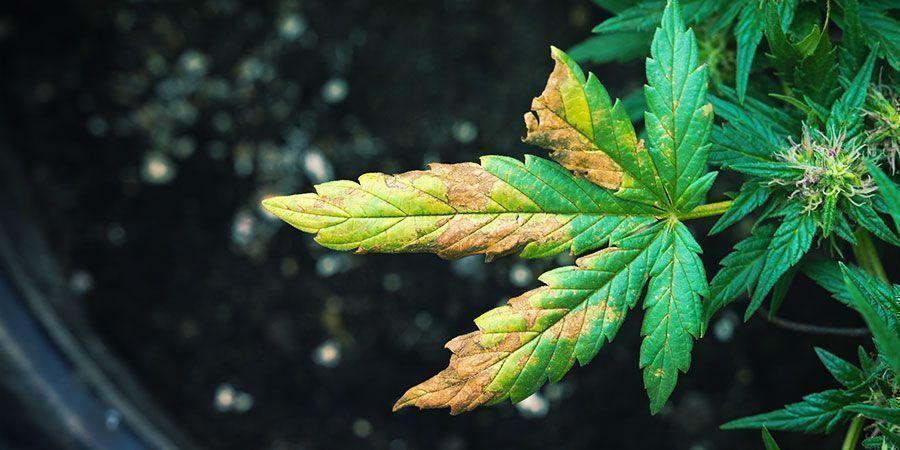 De symptomen van wortelluis bij een wietplant