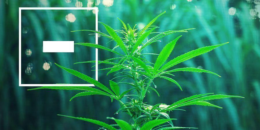 Nadelen van fast flowering cannabis strains