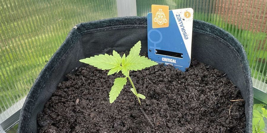 HOW TO PLANT YOUR CANNABIS IN YOUR SOIL MIX