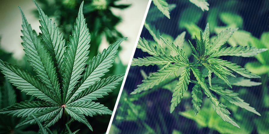 Genetica Van Cannabisplanten