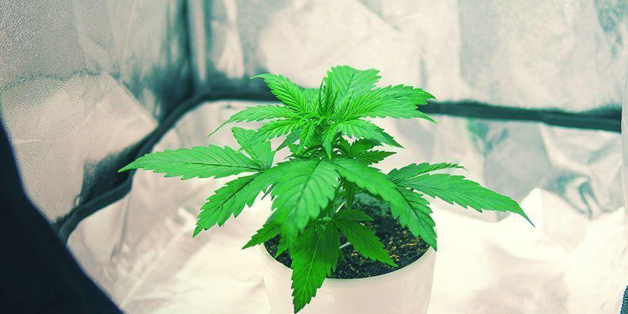 Wiet Kweken In Een Kleine Kweektent