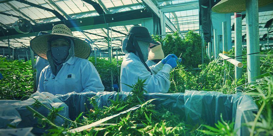 Is verticale cannabis-cultivatie de kweekmethode van de toekomst?