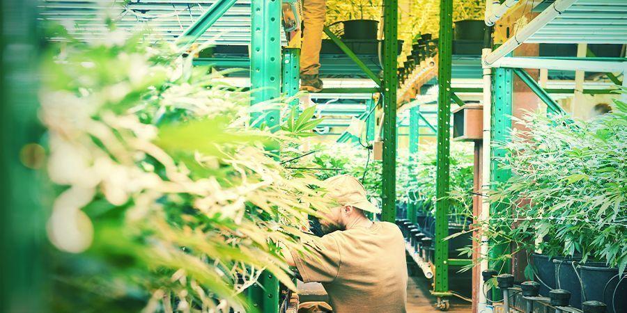 Wat Is Verticale Cannabis Cultivatie?