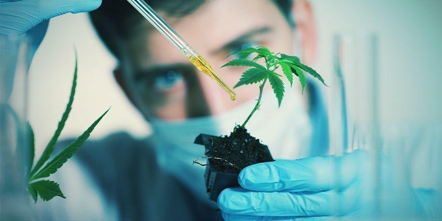 Factoren Die De Bloei Van Wietplanten Kunnen Beïnvloeden: Exogene chemicaliën