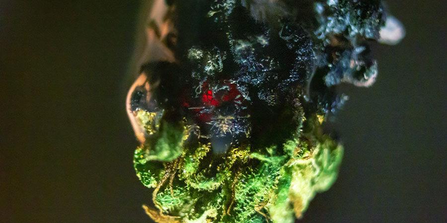 Soorten verontreinigingen in cannabis: Brix