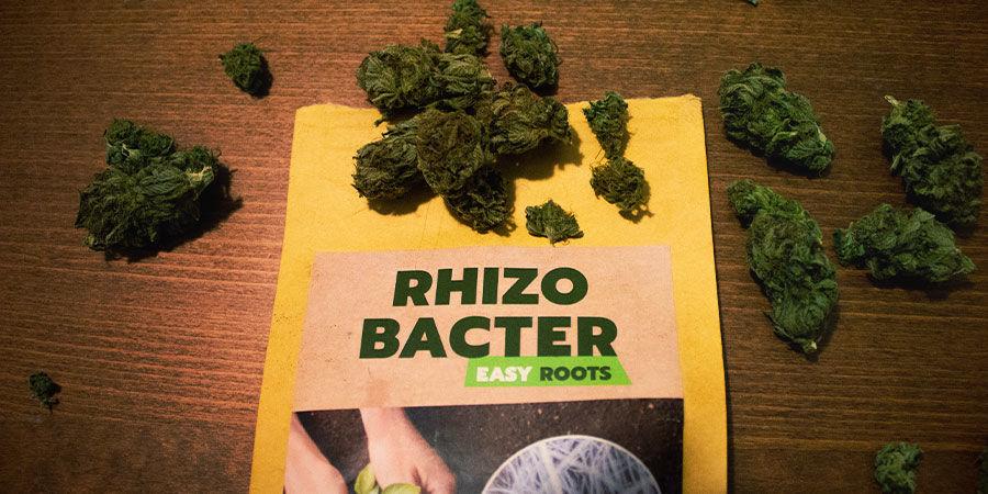Hoe bevorderen rhizobacteriën de groei van wiet?