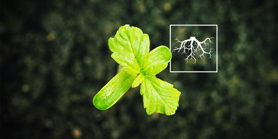 Wat zijn plantengroei-bevorderende rhizobacteriën (PGPR)?