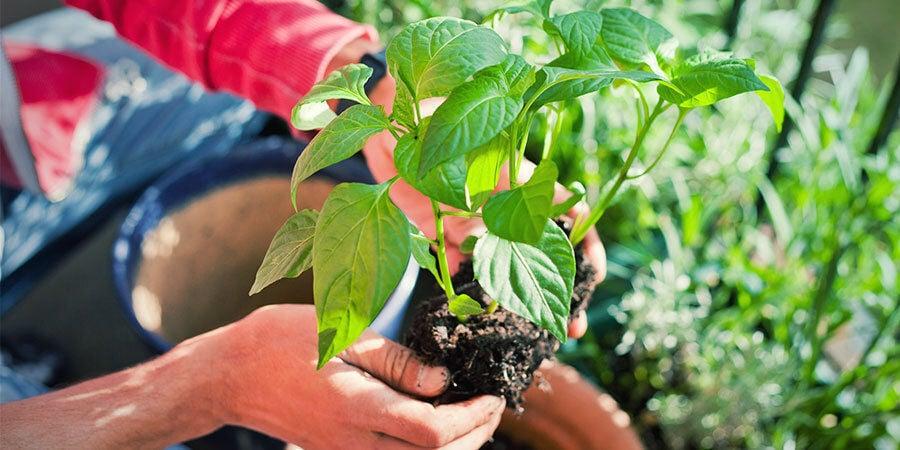 Pepers Kweken Voor Beginners: Verpot zaailingen en geef water
