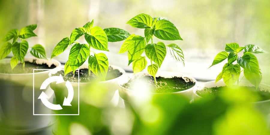 Wat doen na oogst met peperplantjes