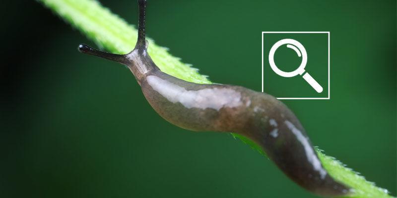 Hoe Herken Je Slakken Op Wietplanten?