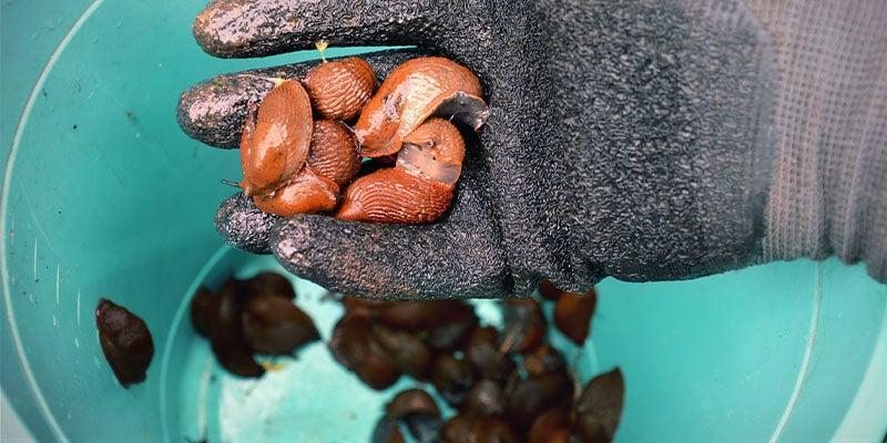 Verwijder De Slakken Handmatig