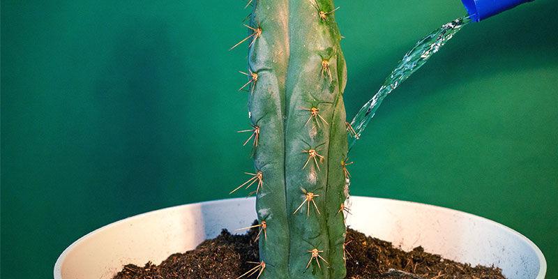 Hoe Verzorg Je Echinopsis Zamnesiana?