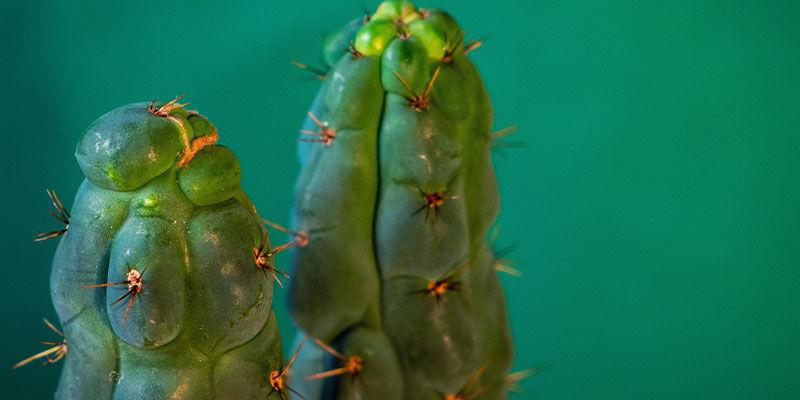 Wat Is Echinopsis Zamnesiana?