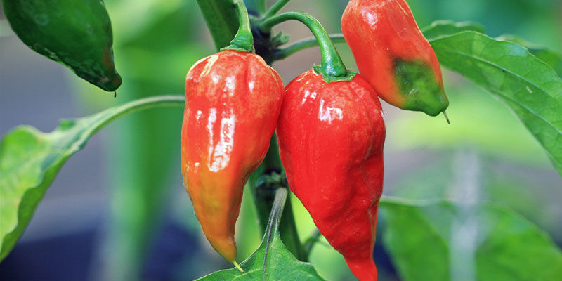 Heetste Pepers: Ghost Pepper (Bhut Jolokia)