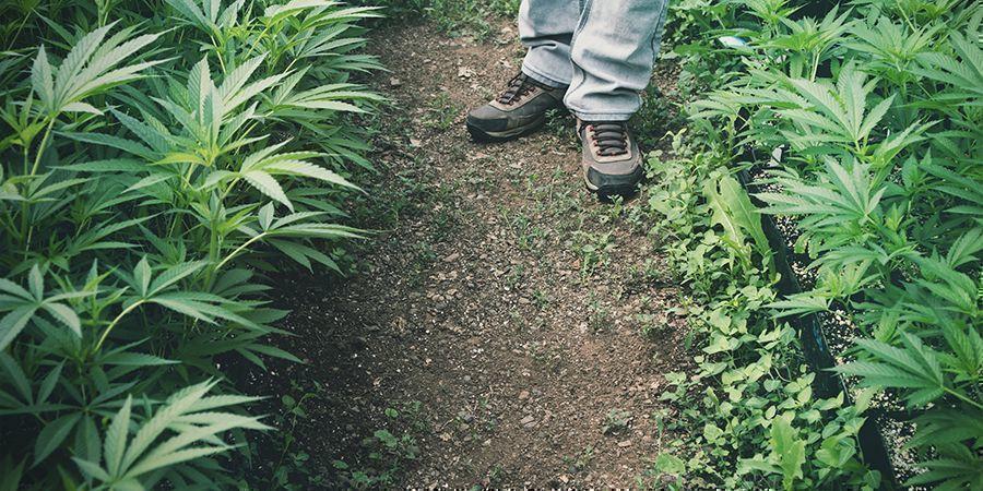 Toepassingen van Hennep: Landbouw (Bioremediatie)