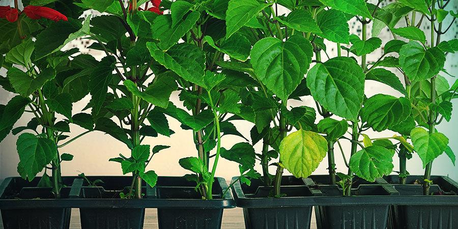 Het vermeerderen van Salvia Divinorum van je stekje