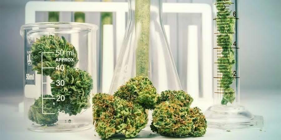 Cannabis: Een Plant Met Een Complexe Chemische Samenstelling