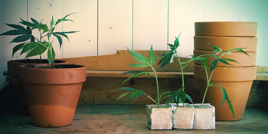 Autoflowering soorten zijn geschikt voor zowel binnen- als buitenteelt