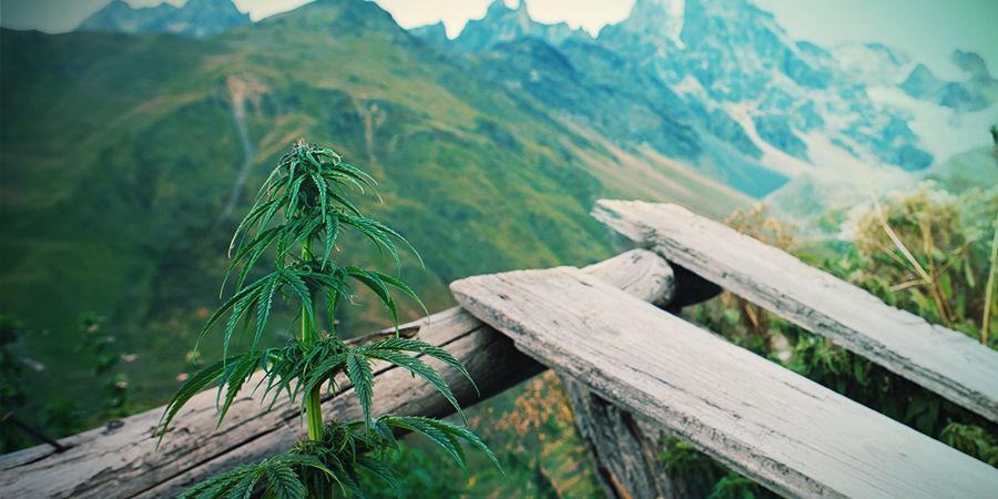 Autoflowering Cannabis Soorten Maken Het Kweken Simpel