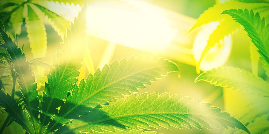 Autoflowering cannabis is Niet Gevoelig Voor Omgevingslicht