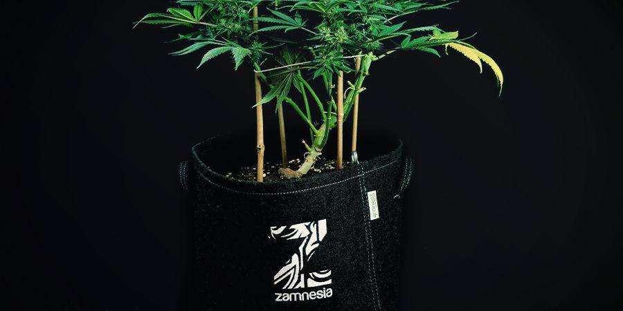 Autoflowering Cannabis planten hoef je niet te verpotten