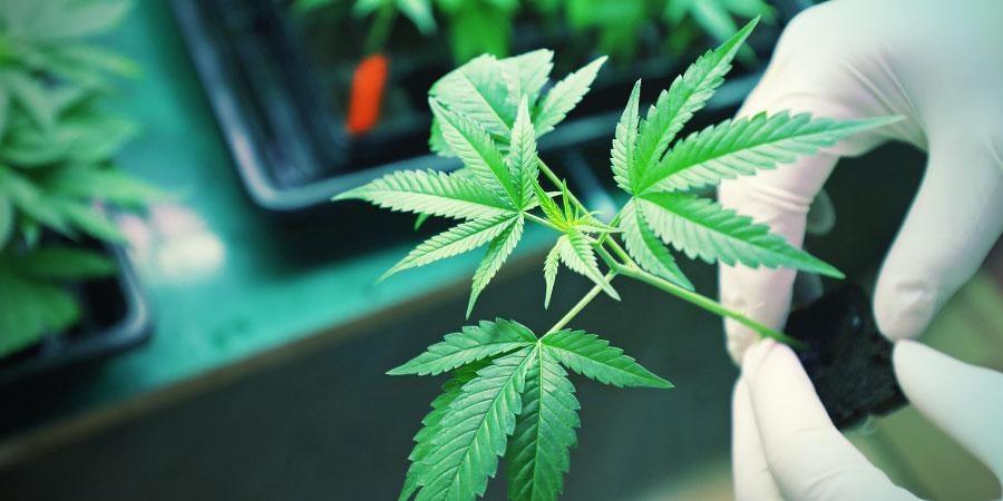 Is Het Gebruik Van Synthetische Cannabinoïden Veilig?