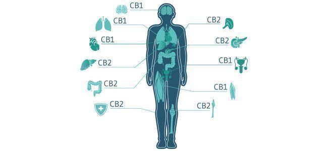 Hoe past het endocannabinoïdensysteem hierin?