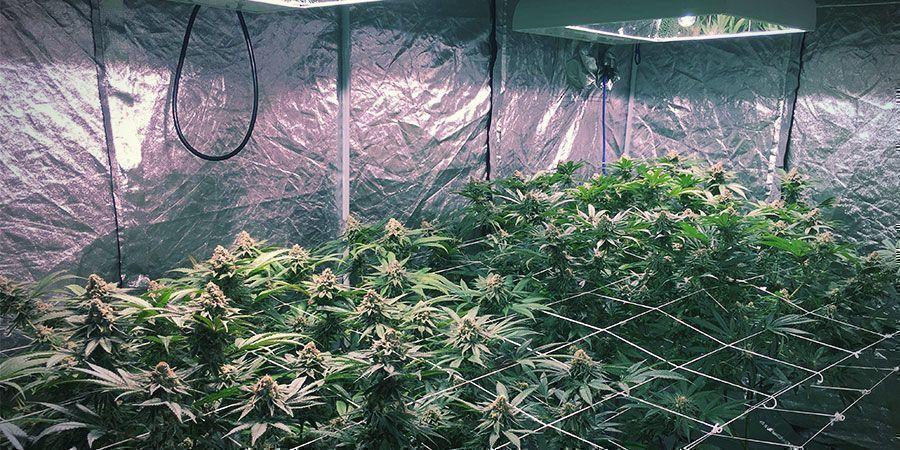 LEC-verlichting - Wietplanten