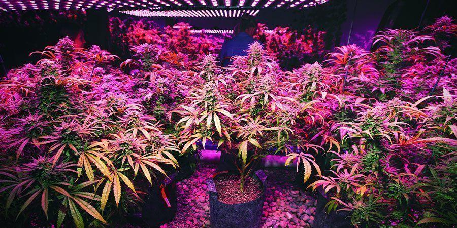 Led-verlichting - Wietplanten