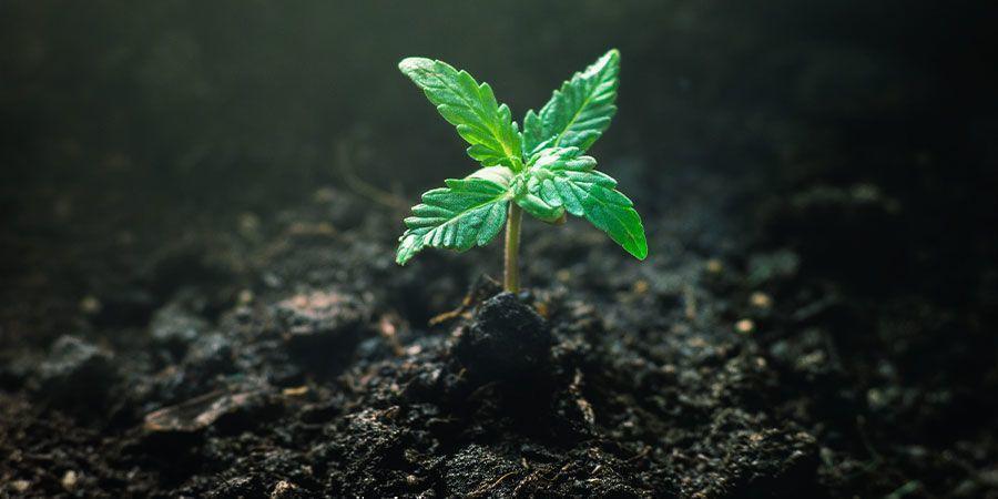 Je Cannabis Zaailingen Voeden - Cannabis Teelt