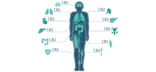 Cannabis Receptoren