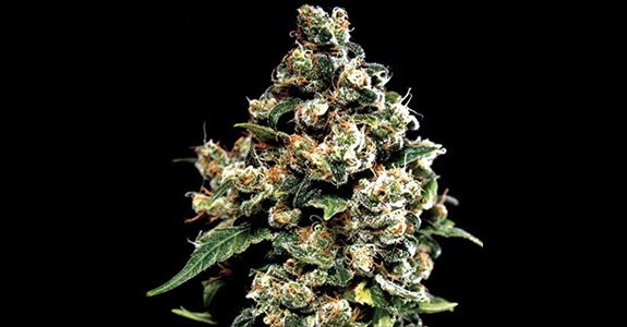 Jack Herer (Greenhouse Seeds)