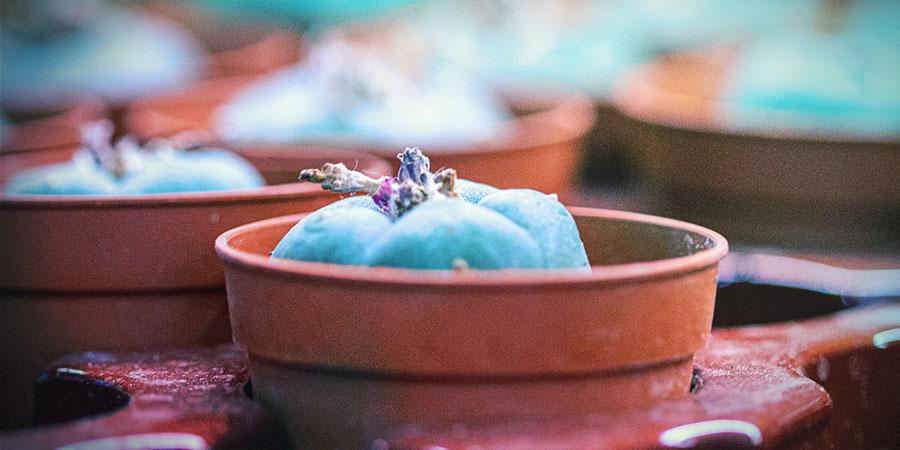 De Verzorging Van Mescaline Cactussen
