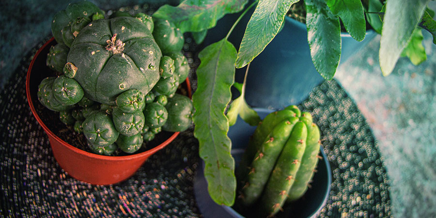 Mescaline Cactussen Kweken Vanuit Zaad - Resumé