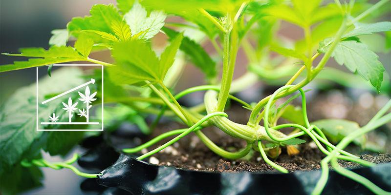 Cannabis en silica: Betere groei