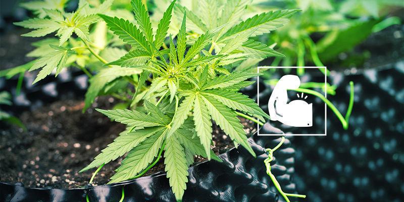Cannabis en silica: Robuust en veerkrachtig