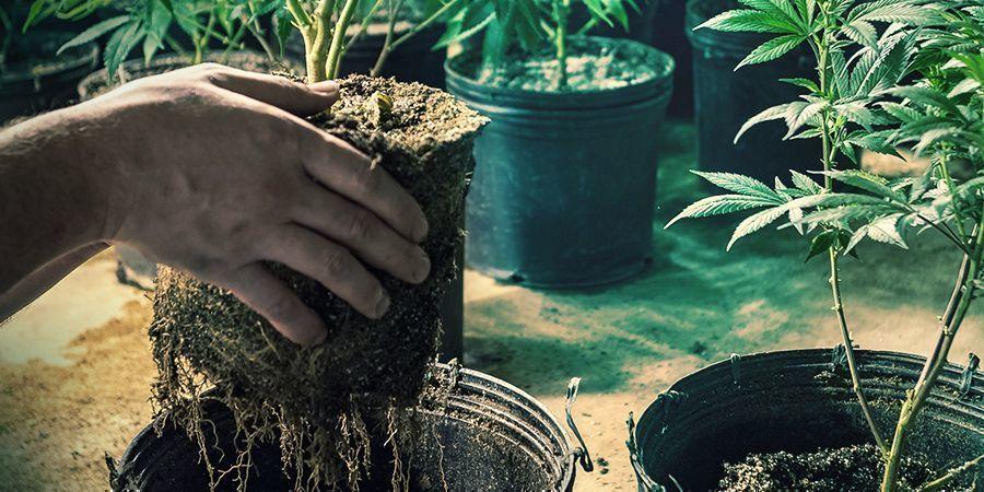 Beschadigde Wortels door het Verplanten
