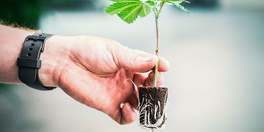 Het Belang van Gezonde Wortels bij Wietplanten