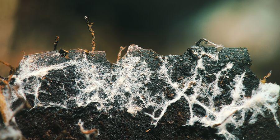 Gebruik Nuttige Microben / Mycorrhizae (Schimmels)