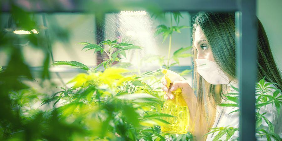 Hoe En Wanneer Pas Je Bladspray Toe Op Je Cannabisplanten?