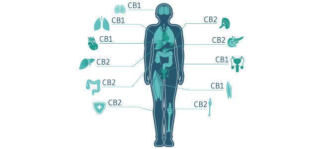 Wat Houdt De Wisselwerking Van CBD Met Het Endocannabinoïdesysteem In?