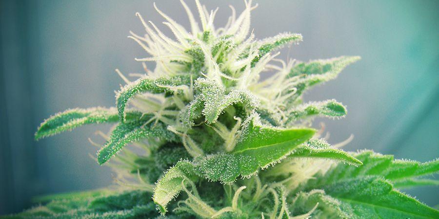 Jack Herer Cannabis Marihuanasoort