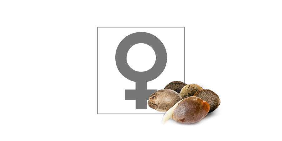Top 10 Feminized Cannabis Seeds