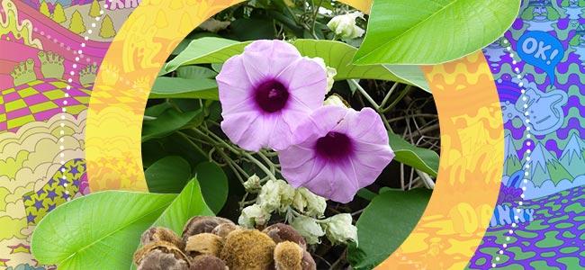 Wat Is Hawaiian Baby Woodrose?