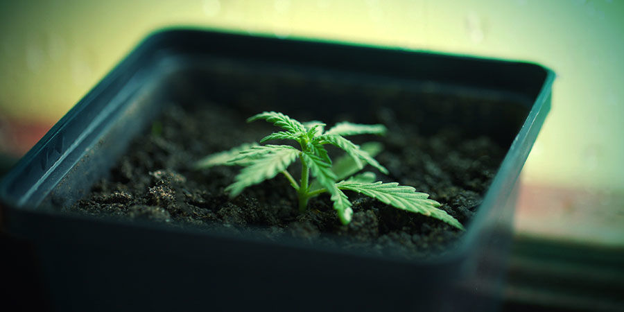 Growing Cannabis In Pots