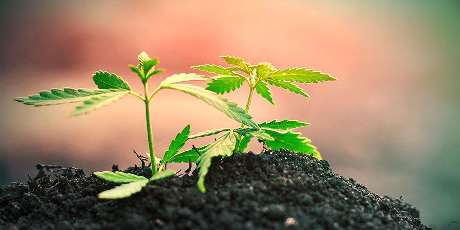 Cannabis In De Grond Kweken