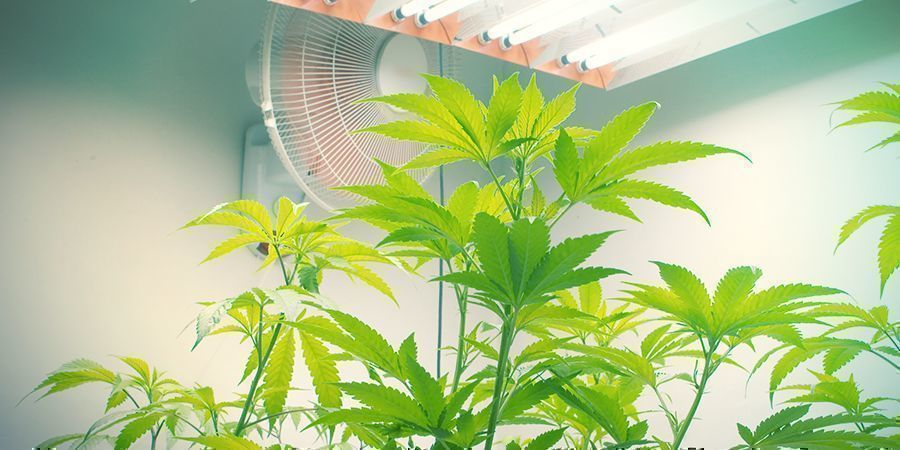 CAUSES OF BUD ROT AND HOW TO PREVENT IT